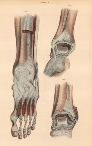 Ankle and Foot: Anterior view of muscles and ligaments with two details of ankle joint. Plate LIV