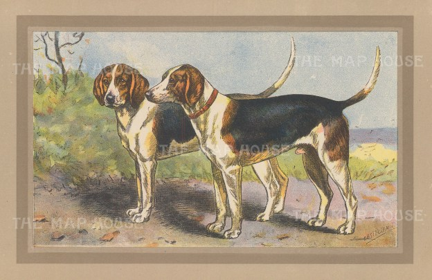 "Mahler: Harriers. c1910. An original antique chromolithograph. 10"" x 7"". [FIELDp1498]"