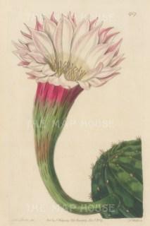 "Botanical Register: Cactus. 1834. An original hand coloured antique steel engraving. 6"" x 9"". [FLORAp3220]"
