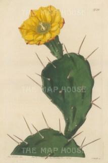 "Botanical Register: Cactus. 1834. An original hand coloured antique steel engraving. 6"" x 9"". [FLORAp3221]"