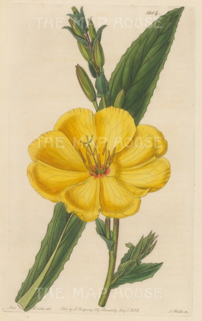 "Botanical Register: Evening Primrose. 1833. An original hand coloured antique steel engraving. 6"" x 9"". [FLORAp3225]"