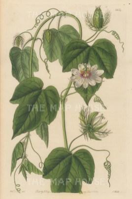 "Botanical Register: Passionflower. 1833. An original hand coloured antique steel engraving. 6"" x 9"". [FLORAp3227]"