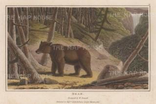 "Daniell: Brown Bear. 1807. A hand coloured original colour antique aquatint. 7"" x 4"". [NATHISp6261]"