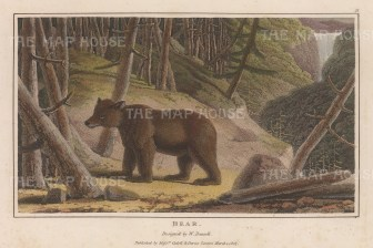 "Daniell: Brown Bear. 1807. A hand coloured original colour antique aquatint. 7"" x 4"". [NATHISp6261]"