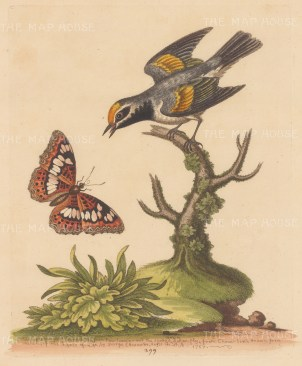 Flycatcher: Golden-winged Flycatcher of Pennsylvania and a Tortoiseshell Butterfly of China.