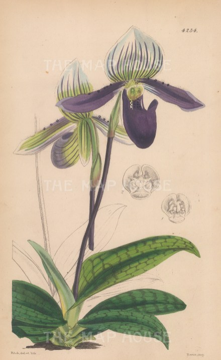 "Reeves: Ladies' Slipper orchid. 1846. A hand coloured original antique lithograph. 6"" x 9"". [FLORAp3268]"