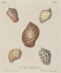 Five mollusc shells from the collection of Philipp Ludwig Muller, professor of Natural History.