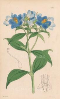 "Reeves: Ceylon Hydrolea. 1849. An original hand coloured antique lithograph. 6"" x 9"". [FLORAp3269]"