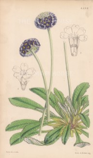 Round-headed mealy primrose. After Walter Hood Fitch.