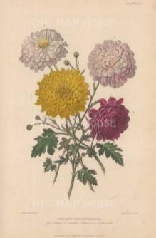 Chrysanthemums: La Gitana, Trophée, François and Fleurette. After Augusta Withers.