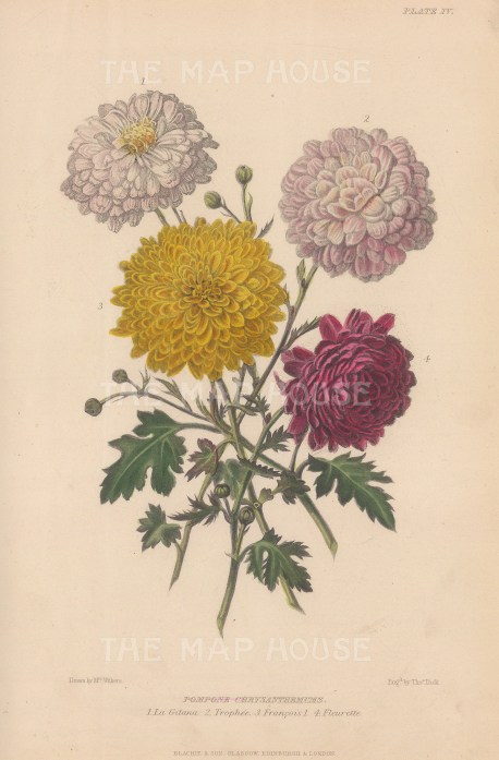 Chrysanthemums: La Gitana, Trophée, François and Fleurette. After Augusta Withers.
