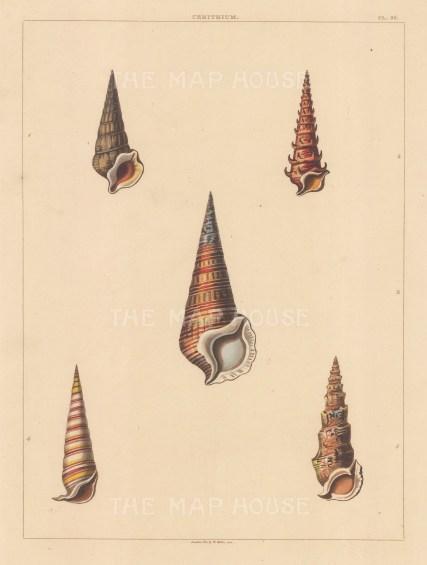 Univalves: Genus Cerithium: 1. Cerithium Ferruginosum, 2. C. Spicatum, 3. C. Fuscum, 4. C. Bandatum, 5. C. Turriformis.