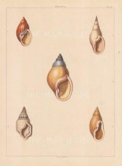Univalves: Genus Melania: 1. Melania Aurantia, 2. M. Acuta, 3. M. Carnatis, 4. M. Nonpareil, 5. M. Striata.