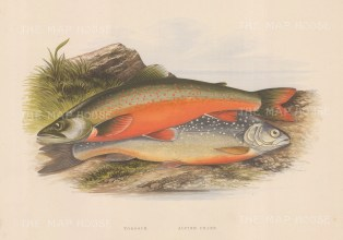 Welsh Charr (Torgoch) and Alpine Charr.