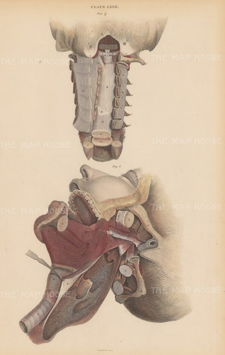 Cervical Spine and Jaw: Ligaments, nerves and muscles. Two diagrams. Plate LXXII.