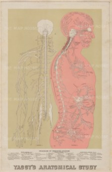 Central Nervous System: Educational study with diagram and key to the spinal, cranial, and sympathetic nerves.