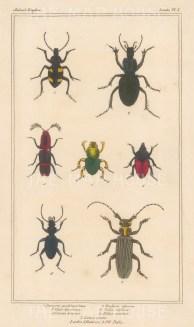 "Cuvier: Beetle. 1834. An original hand coloured antique stipple engraving. 4"" x 7"". [NATHISp7689]"