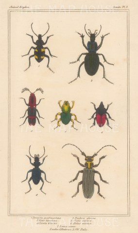 "Cuvier: Beetle. 1834. An original hand coloured antique stipple engraving. 4"" x 7"". [NATHISp7689]"