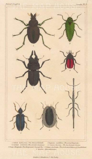 "Cuvier: Beetles. 1834. An original hand coloured antique stipple engraving. 4"" x 7"". [NATHISp7690]"