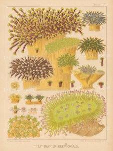 Great Barrier Reef Corals: Rhipidogyra, Euphyllia ruosa 2, Euphyllia glaborscens 3-6, Pectinia Jardinei 7, Galaxea esperi 8-9, Galaxea 10-12a.