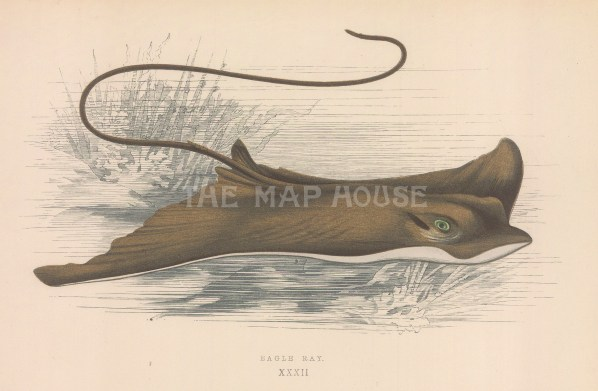 "Couch: Eagle Ray. 1878. An original antique chromolithograph. 9"" x 5"". [NATHISp7157]"
