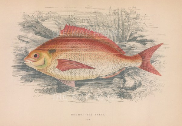"Couch: Sea Bream. 1878. An original antique chromolithograph. 9"" x 5"". [NATHISp71598]"