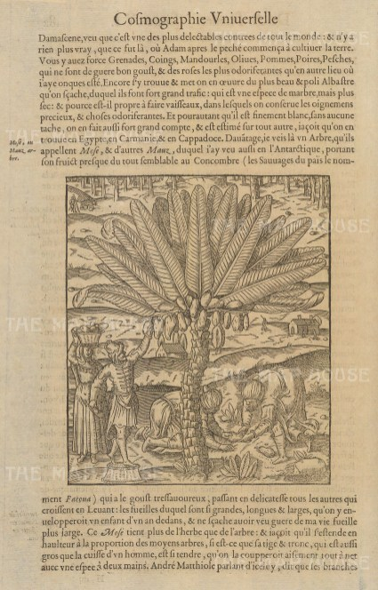 Palm: Date Palm Phoenix dactylifera: Men harvesting the fruit. With text in French.