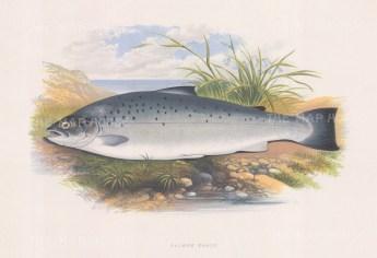"Houghton: Salmon Trout. 1879. An original antique chromolithograph. 12"" x 9"". [NATHISp6533]"