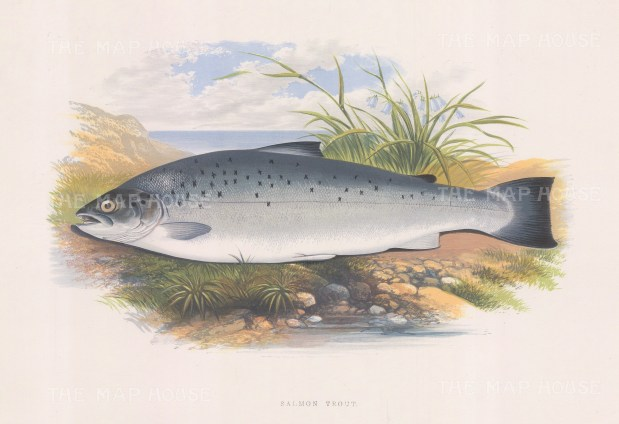 "Houghton: Salmon Trout. 1879. An original antique chromolithograph. 12"" x 9"". [NATHISp6533]"