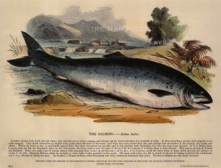 "SPCK: Salmon. 1860. An original hand coloured antique wood engraving. 12"" x 10"". [NATHISp6612]"