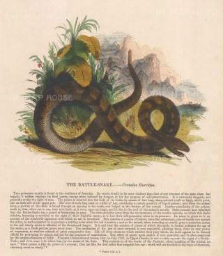 Rattle Snake, Crotalus Horridus: with descriptive text. Founded in 1698, the SPCK is the oldest Anglican mission and publishing house of the Church of England.