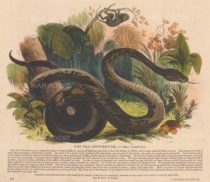 "SPCK: Boa Constrictor. 1860. An original hand coloured antique wood engraving. 13"" x 11"". [NATHISp6907]"