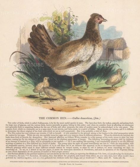 "SPCK: Hen. c1860. An original hand coloured antique wood engraving. 10"" x 12"". [NATHISp7143]"