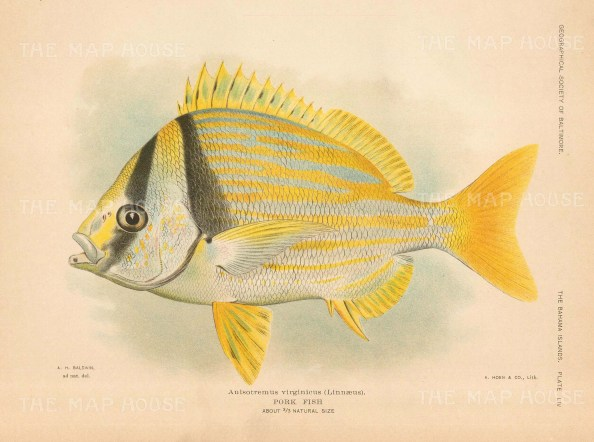 Pork Fish: Anisotremus virginicus from the Bahamas.