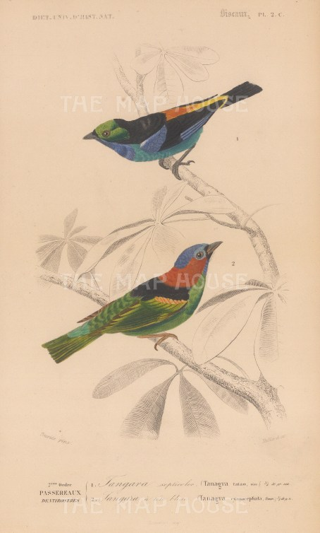 Paradise and Blue capped Tanagars. Tanagra tatao and cynocephala.