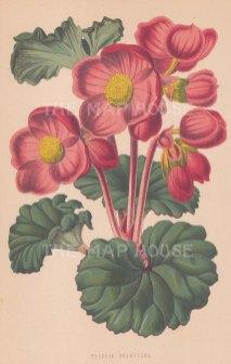 "Dr. Frampton: Begonia. 1869. An original antique chromolithograph. 5"" x 8"". [FLORAp2658]"
