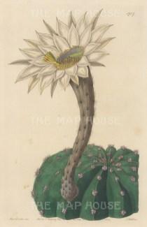 "Botanical Register: Cactus. 1834. An original hand coloured antique steel engraving. 6"" x 9"". [FLORAp3219]"