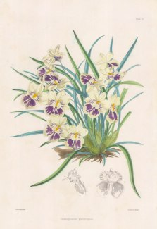 "Fitch: Tooth and Tongue Orchid. 1884. An original hand coloured antique lithograph. 14"" x 20"". [FLORAp3308]"