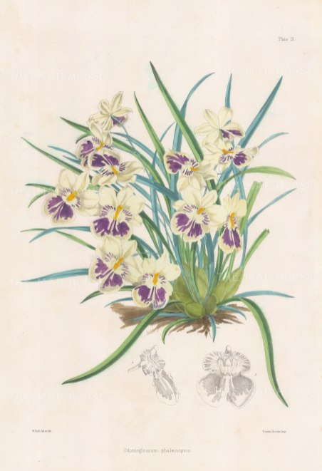 """Fitch: Tooth and Tongue Orchid. 1884. An original hand coloured antique lithograph. 14"""" x 20"""". [FLORAp3308]"""