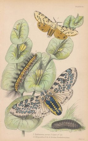 Spilosoma acrea and Arctia Oculatissima. With chrysalis and caterpillar.