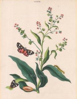 Scarlet Tiger Moth, pahlaena dominula and Hound's Tongue, cynoglossum officinale.