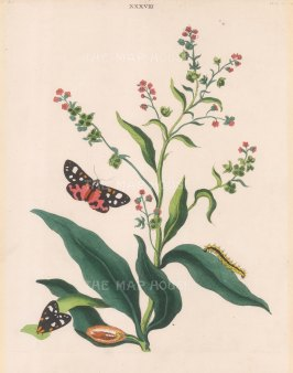 Scarlet Tiger Moth, pahlaena dominula and Hound's Tongue, cynoglossum officinale.