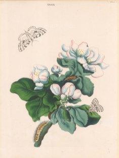 Moth, phalaena monacha and the Apple Tree, pyrus malus.
