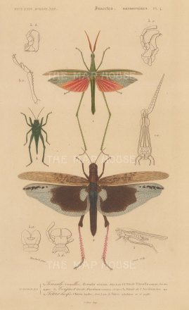 Grasshopper, Locust and Lucifer bug:Truxalis miniata, Acridium moetum and Tetrix lucifer with segment details.