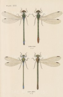 Emerald spreadwing; Lestes dryas, and Comman spreadwing; Lestes sponsa.
