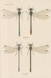 Emerald spreadwing; Lestes dryas, and Comman spreadwing; Lestes sponsa.
