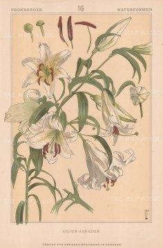 "Vellmer: Lily. c1890. An original antique chromolithograph. 14"" x 20"". [FLORAp2209]"