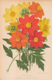 """Fitch: Dahlias. 1884. An original antique chromolithograph. 7"""" x 10"""". [FLORAp2731]"""