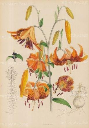 Lilium tigerinum.