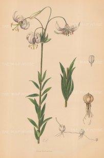 Lilium Duchartrei. Marbled Martagon Lily.
